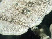 Montipora foliosa