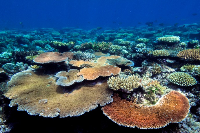 Coral reef with plate coral (Acropora hyacinthus)