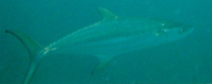 Broad-barred (grey) mackerel