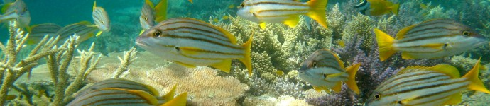 School of Spanish Flag Fish (Lutjanus Carponotatus)