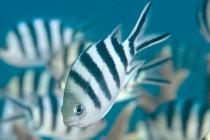 Damsel fish on Great Barrier Reef