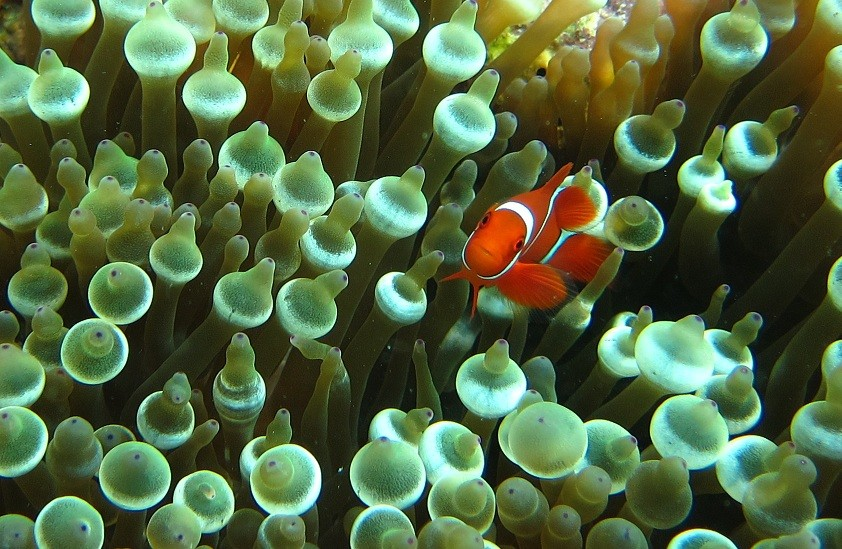 Tomato clownfish anemone - photo#1