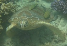 Sea turtles such as the Green Sea Turtle seen here (Chelonia mydas) will be affected directly by changes in ocean temperature and through loss of habitat