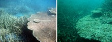 Crown-of-Thorns Starfish outbreak - Before After on reef