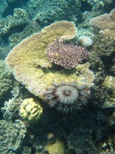 Crown-of-thorns starfish eating