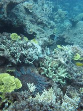 Crown-of-thorns starfish killing corals