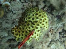 Acanthastrea faviaformis