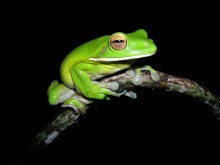 White-lipped Treefrog