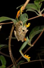 Green-eyed Tree Frog in amplexus with a Orange-eyed tree Frog