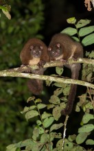Lemuroid Ringtail Possums in the Wet Tropics