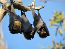 Sleeping spectacled flying-foxes