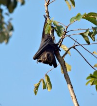 Spectacled flying-fox at the Lakeside Colony, Atherton Tablelands