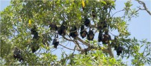 Spectacled flying-foxes at the Kennedy camp near Cardwell