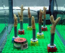 Corals mounted on Lego blocs, at AIMS