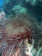 Crown of Thorns Starfish feeding on coral at Hayman Island, Whitsunday, October 2012