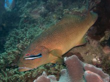 Coral trout being cleaned of parasites by cleaner wrasse, Whitsunday