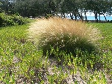 Weeds on Magnetic Island