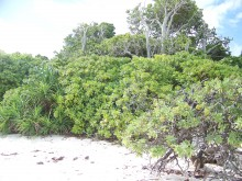 Typical coral cay vegetation on Heron island