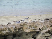 Terns on Heron Island