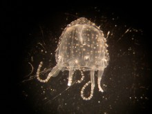 A juvenile Irukandji jellyfish (Carukia barnesi) that periodically infests North Queensland beaches and reefs.