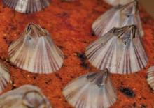 Adult Amphibalanus amphitrite barnacles