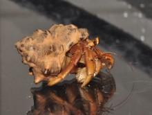 Adult Coenobita variabilis hermit crab